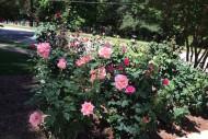 may roses in bloom