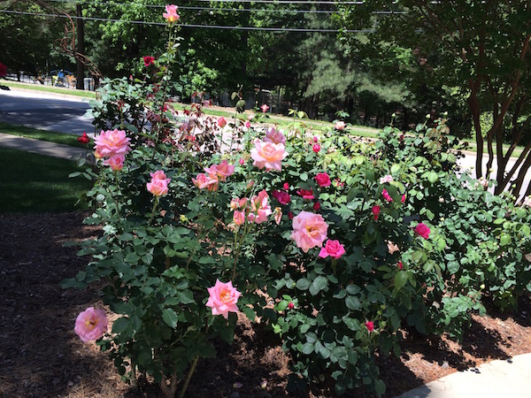 Roses in May – care, cutting, arrangements