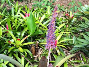 lyon-bromeliad