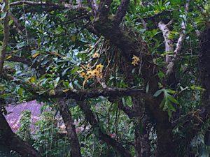 lyon-orchids