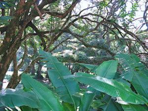 lyon-trees