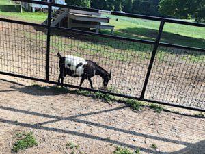 fearrington-goat